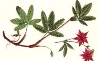 Сабельник — настойка для суставов, мазь, чай и другие формы. Показания, применение, самостоятельное приготовление